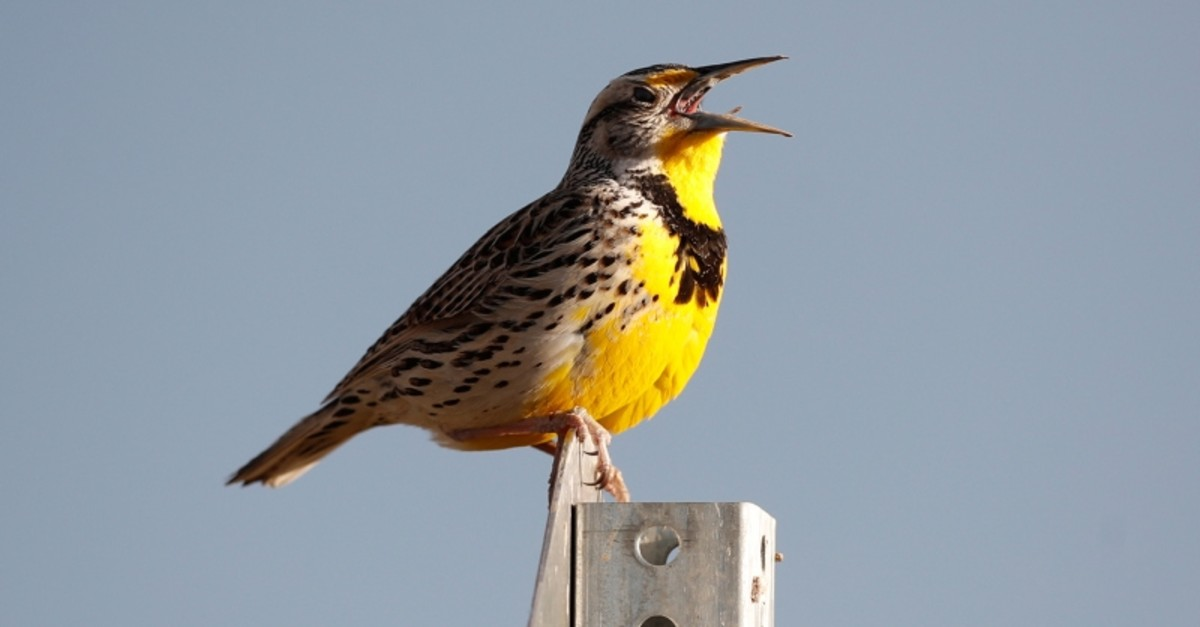 This April 14, 2019 file photo shows a western meadowlark in the Rocky Mountain Arsenal National Wildlife Refuge in Commerce City, Colo. (AP Photo)