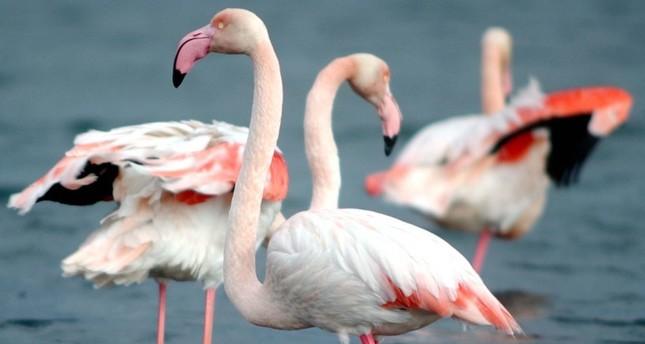 İzmir Bird Sanctuary sees record flamingo chicks this year
