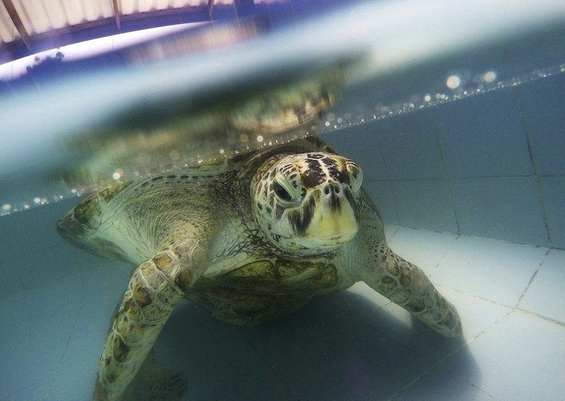 Bank, a 25-year-old sea turtle who swallowed nearly a thousand coins tossed by tourists died Tuesday, March 21, two weeks after having surgery to remove the coins from its stomach. (AP Photo)