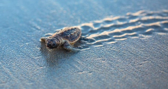 Loggerheads are the most common turtle in the Mediterranean, nesting on beaches from Greece and Turkey to Israel and Libya. (AA Photo)