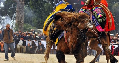 Camel wrestling season kicks off in Turkey
