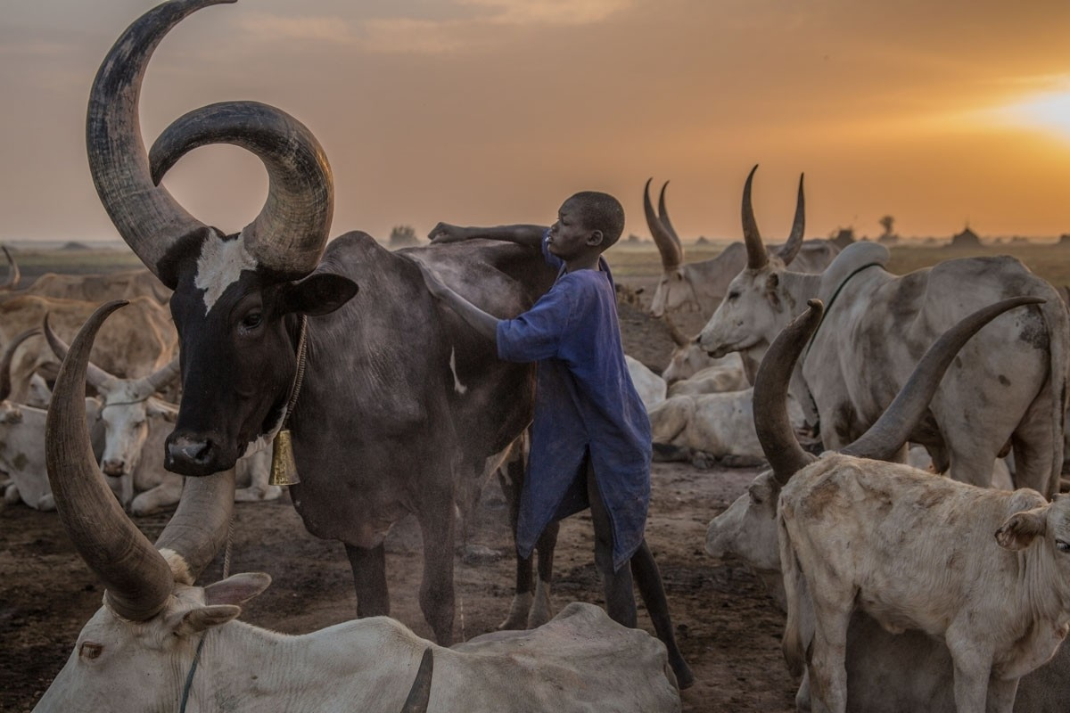 A boy tends a cow in the early morning. The Dinka set up big cattle camps near the Nile to make sure their animals are close to grazing pastures.