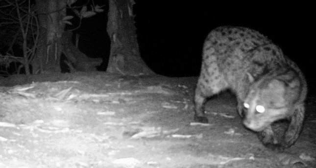 Rare wild cats photographed in Cambodia for first time since 2015
