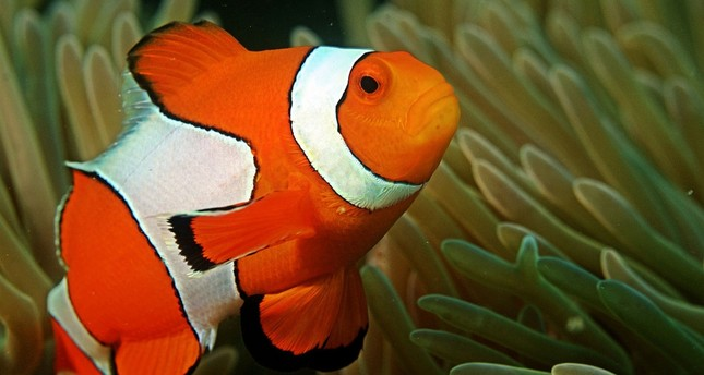 Finding 'Nemo' may be harder in warming seas, study finds