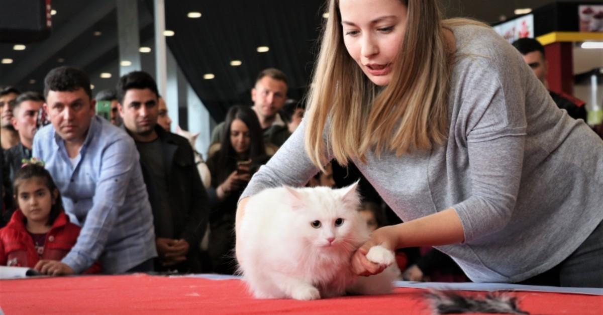 Spak, the most beautiful Van cat of 2019. (AA Photo)