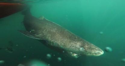 pDänische Wissenschaftler entdeckten den wohl ältesten Hai der Welt - geschätzte 512 Jahre alt soll der Grönlandhai sein./p  pAls die Wissenschaftler den 5,4 Meter großen weiblichen Grönlandhai...