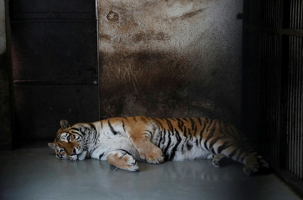Igor, the 13 year-old Siberian tiger, lives in Hungary's Zoo Szeged. (REUTERS Photo)
