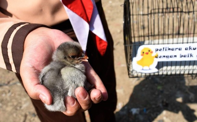 An Indonesian pupil holds a chick, given by local officials as part of a program to wean schoolchildren off smartphones, in Bandung, West Java, on November 21, 2019. (AFP Photo)