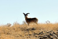 Once facing extinction in Turkey, wild sheep in Anatolia, known as mouflon, have found a new lease on life after they were put under protection of the Forest and Water Affairs Ministry.