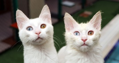 Van cats can hear pretty well, research finds