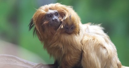 One of the world's most rare primates born in Jerusalem zoo