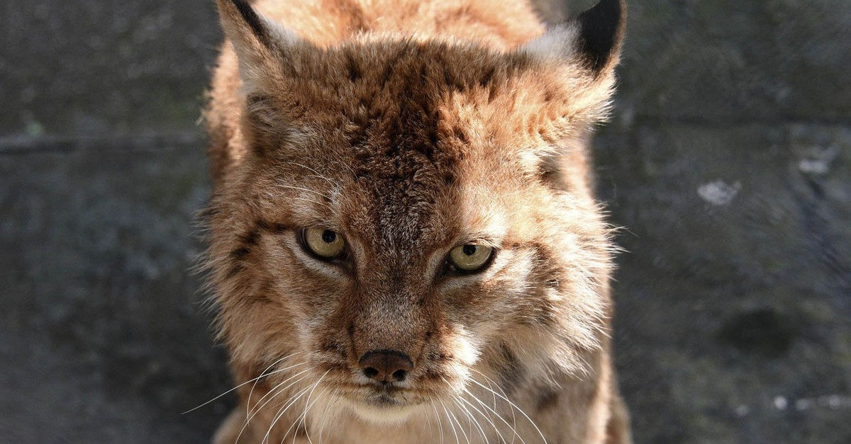 A Balkan Lynx, one of the species classified as critically endangered.