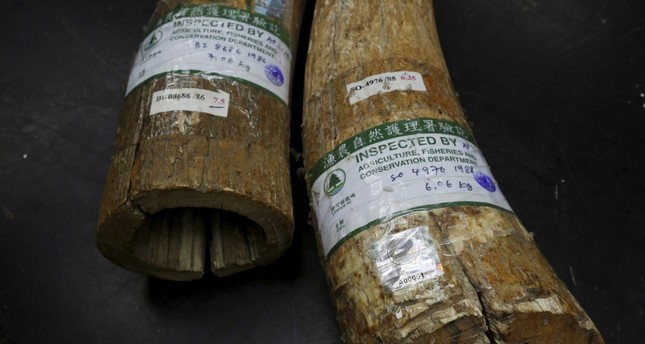 Ivory tusks with government registered labels seen inside a factory in Hong Kong.