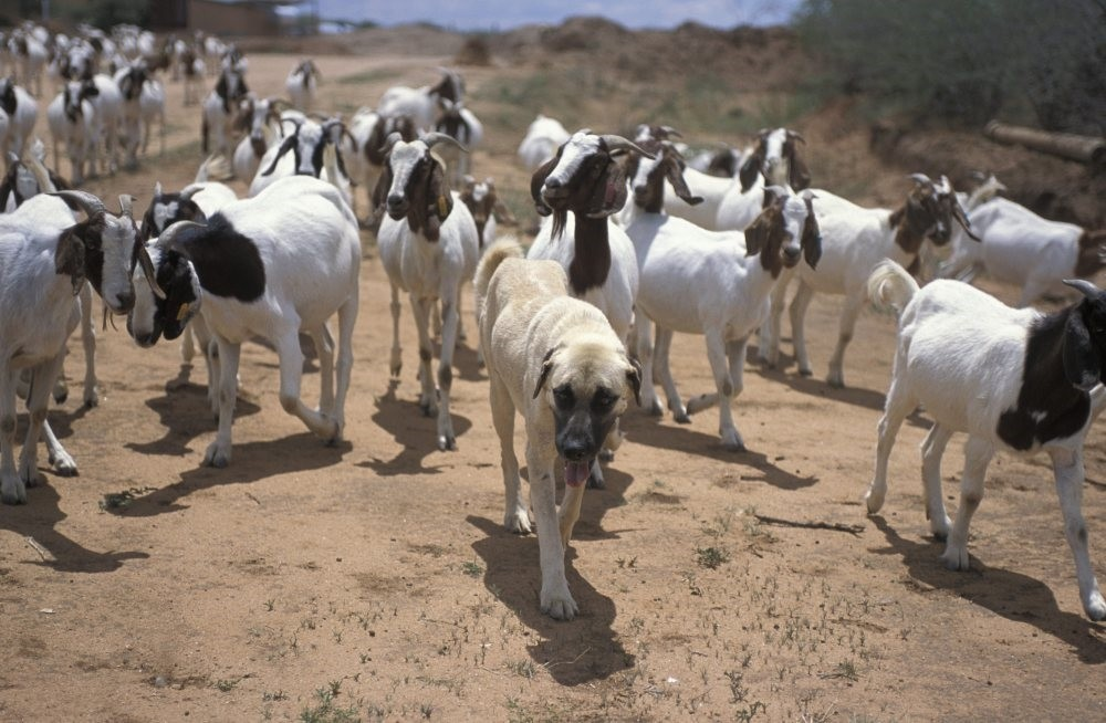 Kangal dogs serve as an intimidating force against cheetahs preying on livestock. (Courtesy of TIKA)