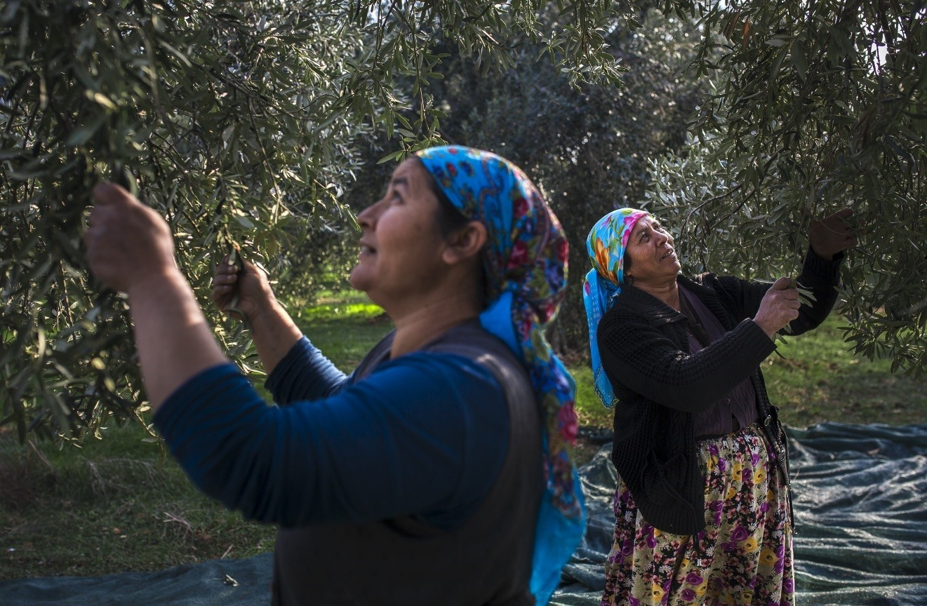 Olive farmers during an early morning harvest. Although the olives picked in this season do not produce much oil, the final product is said to be of much higher quality.