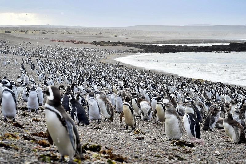 Penguins walk on a beach at Punta Tombo peninsula in Argentina's Patagonia, on Friday, Feb. 17, 2017. (AP Photo)