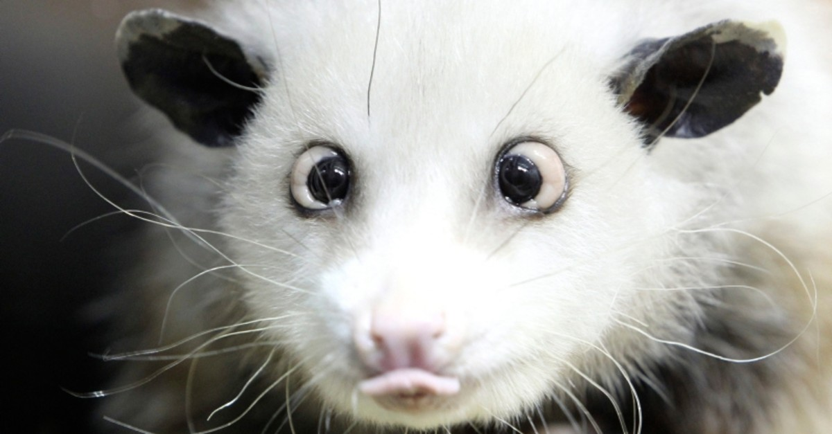 In this Dec 15, 2010 file picture  cross-eyed opossum (didelphis) Heidi sits in its interim enclosure, in the zoo in Leipzig. (AP Photo)