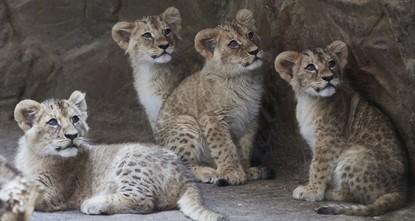 pIn einem Zoo in Südschweden sind über mehrere Jahre hinweg immer wieder junge Löwen getötet worden. Insgesamt seien neun gesunde Jungtiere eingeschläfert worden, berichtete der Fernsehsender...