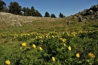 Die Blume Adonis Cyllenea wurde das erste mal wieder nach 150 Jahren in der Provinz Şebinkarahisar in der nordöstlichen Stadt Giresun gefunden.  Das Ministerium für Land-, Forst- und...
