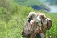 Turkey returns endangered griffon vulture to Serbia with Turkish Cargo