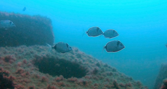 Turkish artificial reef project brings increased fish diversity