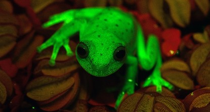 pThe first naturally fluorescent frog was discovered recently in Argentina -- almost by chance, a member of the team of researchers told AFP Thursday./p  pArgentine and Brazilian scientists at...