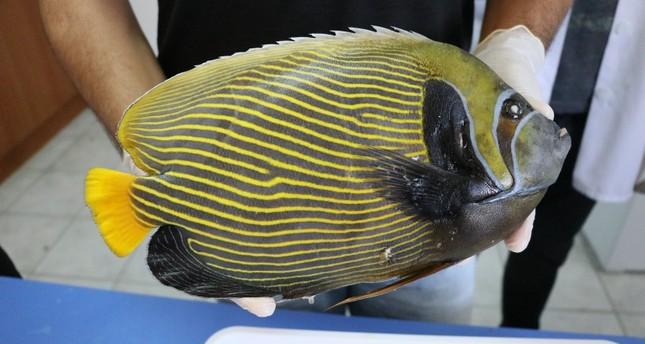 باحثون أتراك يرصدون على شواطئ تركيا سمكة تعيش عادة في البحار الاستوائية