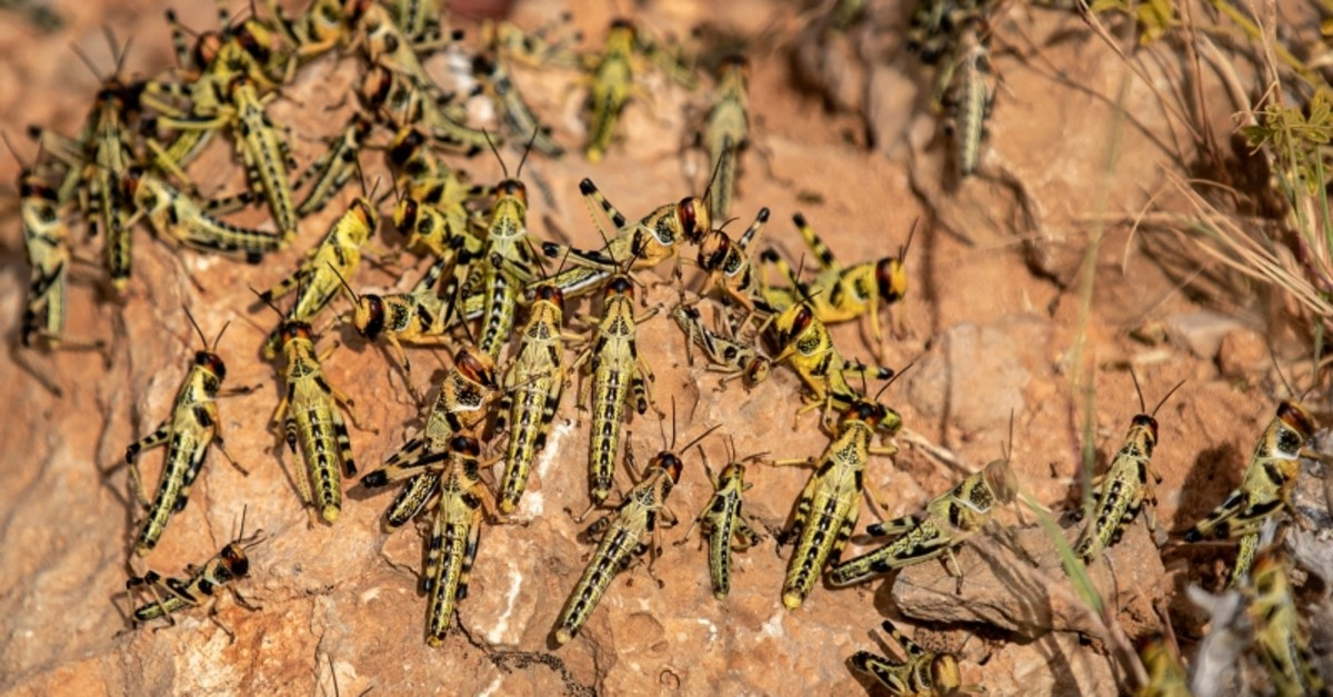 In this photo taken Wednesday, Feb. 5, 2020, young desert locusts that have not yet grown wings crowd together on a rock in the desert near Garowe, in the semi-autonomous Puntland region of Somalia. (AP Photo)