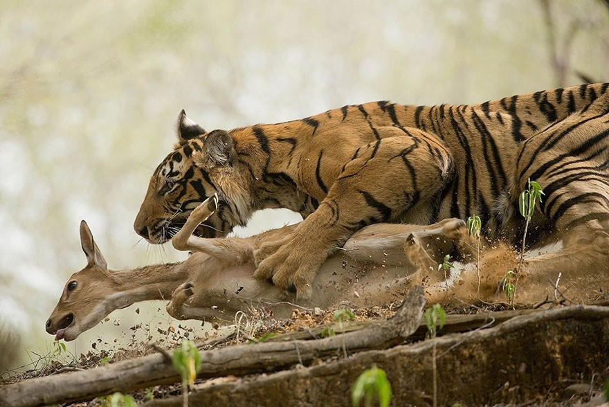 The Hunt, India - 2nd place, Animals In Their Environment