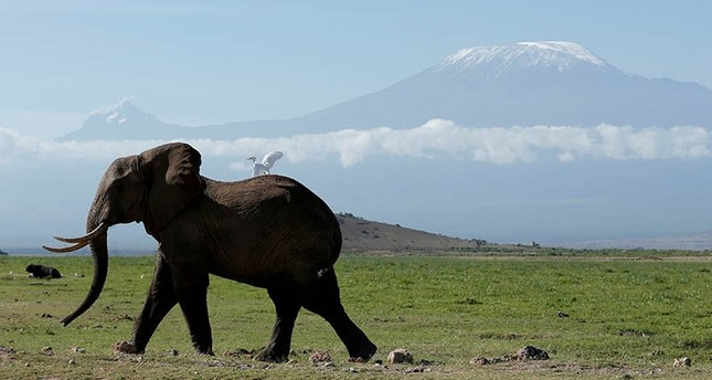 An elephant walks in Amboseli National Park in front of Kilimanjaro Mountain, Kenya, March 19, 2017. (Reuters Photo)