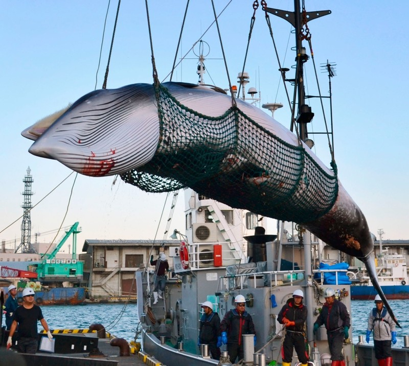 In this September 2017, photo, a minke whale is unloaded at a port after a whaling for scientific purposes in Kushiro, in the northernmost main island of Hokkaido. (Kyodo News via AP)
