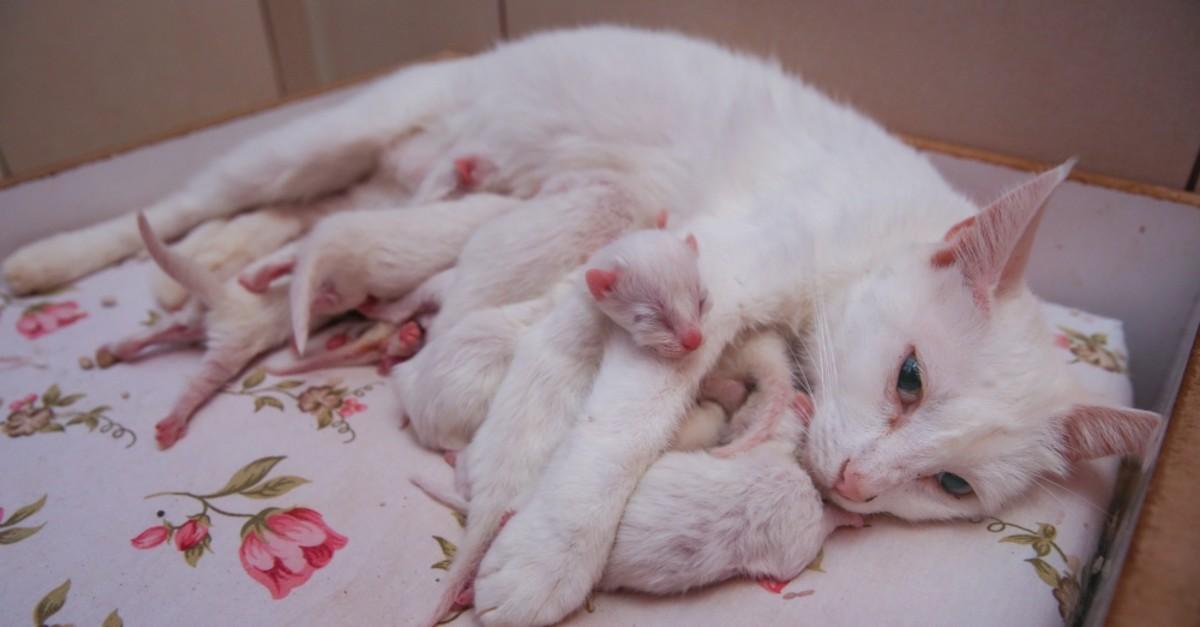 Nazlu0131, the Van Cat, feeds her babies.