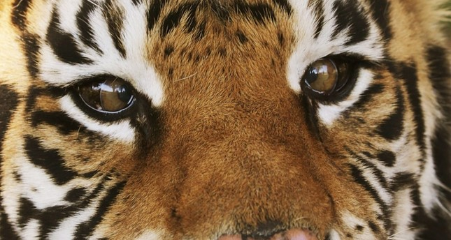 Bengal tigers have been declared endangered because of poaching and a loss of their habitat.