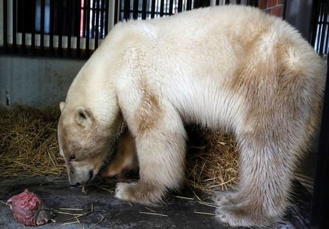 A female polar bear, which was found stray in the industrial city of Norilsk, eats meat inside a quarantine cage after arriving at the Royev Ruchey zoo in Krasnoyarsk, Russia, June 21, 2019. (Reuters Photo)