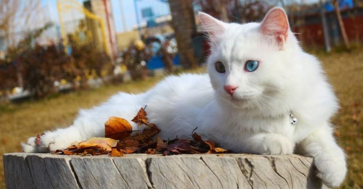 Su the Van Cat enjoys life under the spotlight. (?HA)