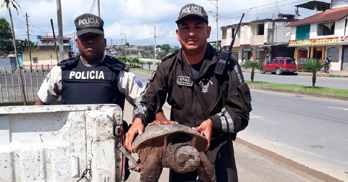 In this photo provided by Interpol on Wednesday July 10, 2019, Ecuador's Environmental Police officers hold a Snapping Turtle (Chelydra serpentina) during checkpoint inspections in Santo Domingo de los Tsachilas, Ecuador (AP Photo)