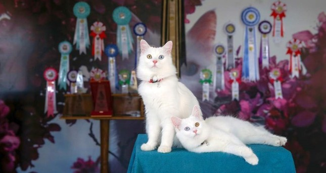Van cats Su and Ba?ak pose for the cameras after a successful day at the International Happy Cats Beauty Pageant. (AA Photo)