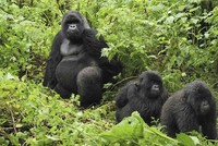 'Cheating' gorillas show clever puzzle-solving