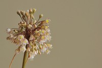 Scientists discover new flower species endemic to Istanbul