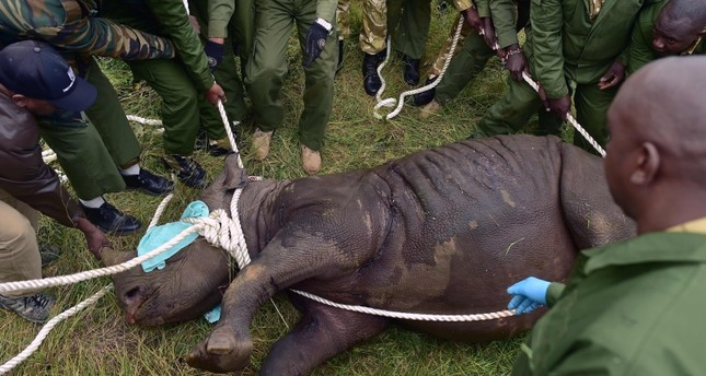 Kenya Wildlife Services (KWS) translocation team members assist a sedated female black rhinoceros into a safer position before loading the animal into a transport crate. (AFP Photo)