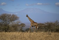 Giraffes are threatened with extinction, put on watch list