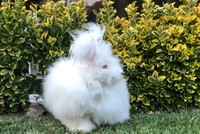Angora rabbit may return home to Turkish capital