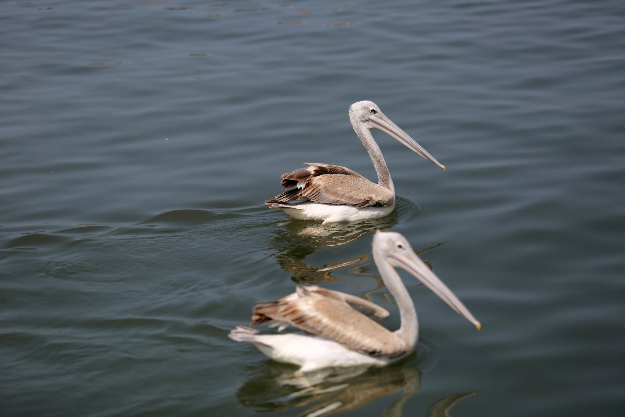 Pelicans are pictured at the fishing port in the Red Sea city of Hodeida, Yemen.