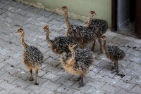 6 ostrich chicks hatch at Bursa Zoo in northwest Turkey