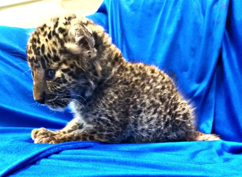 In this handout picture released by Customs Chennai International Airport and taken on February 2, 2019, shows a leopard cub after it was seized from a checked baggage of a passenger travelling from Bangkok, at Chennai airport (AFP Photo)
