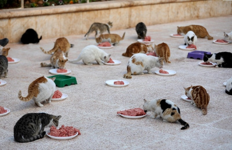 Cats feed on mincemeat at lunchtime at Ernesto's Cat Sanctuary run by Mohammed Alaa al-Jaleel in Kfar Naha, an opposition-held town in Aleppo province in Syria, March 17, 2018. (AFP Photo)