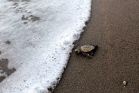 Number of sea turtle nests drop by half