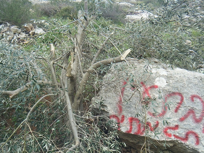 Photo from Monday, March 12, 2012, shows olive tree in West Bank village cut down by Israeli settlers from Bat Ayin settlement. (Photo from Palestine Solidarity Project)