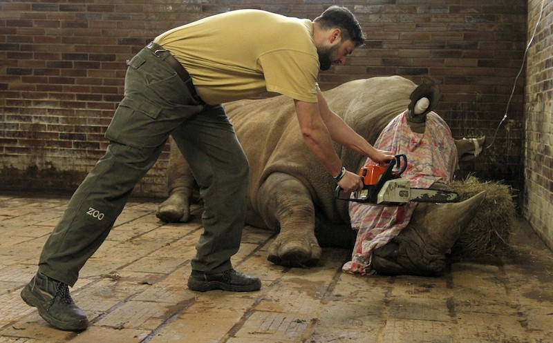 A zoo keeper removes  a horn of  Pamir, a southern white rhino, as one of the safety measures to reduce the risk of any potential poaching attack. AP Photo