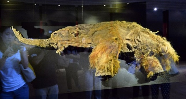 Image result for 28,000-Year-Old Woolly Mammoth Cells Brought Back to Life by Scientists
